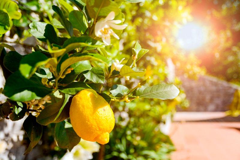 comprar limones al por mayor al mejor precio